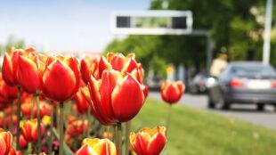 Dziury w jezdni łatają kwiatkami