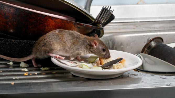 Szczurze zapalenie wątroby u człowieka. To pierwszy przypadek na świecie