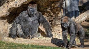 U goryli w zoo w San Diego wykryto koronawirusa