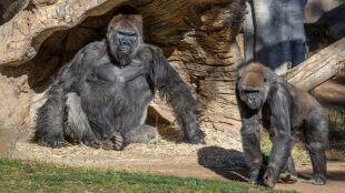 Goryle z koronawirusem. Pierwsze potwierdzone przypadki zakażenia u małp człekokształtnych