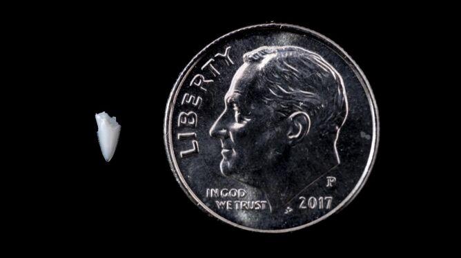 Wielkość zęba w porównaniu do monety (Florida Museum/Kristen Grace)